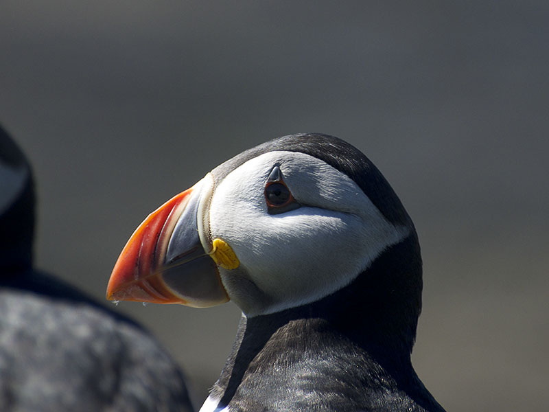 portret papegaaiduiker (puffin)