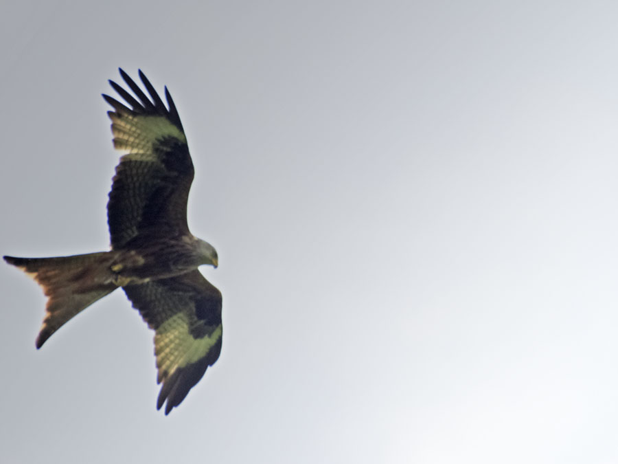 Agarty Red Kites10