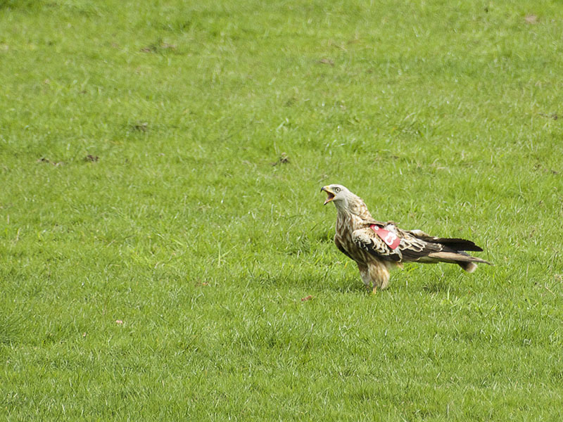 Agarty Red Kites13