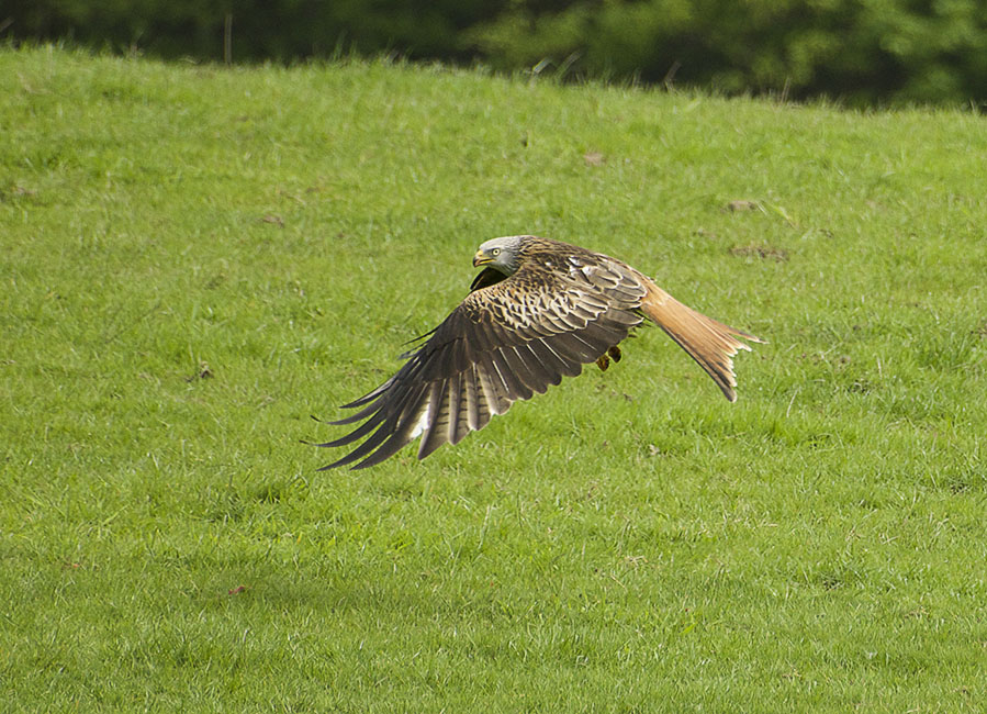 Agarty Red Kites3