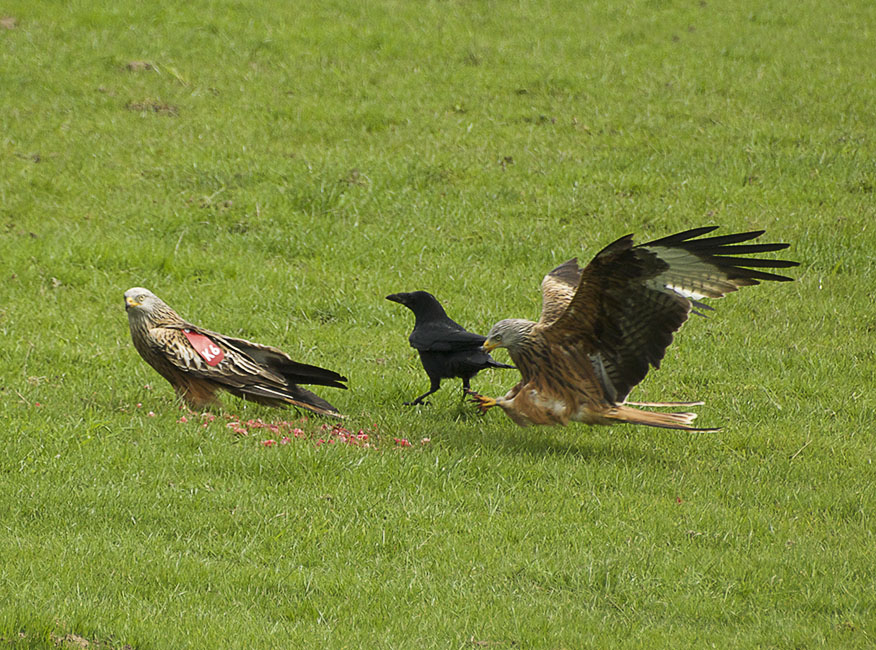 Agarty Red Kites6