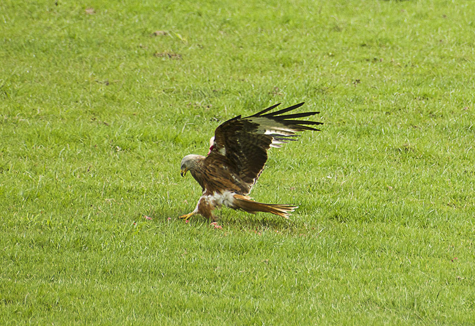 Agarty Red Kites7