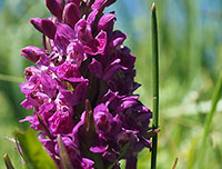 Purperrode orchis