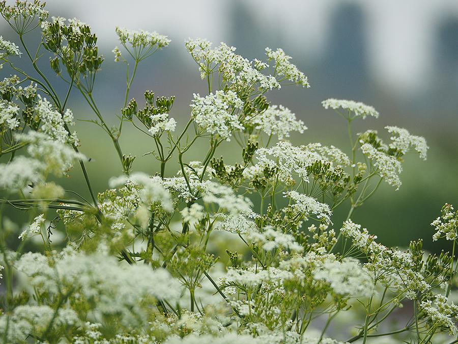 Magnifiek Witte Schermbloemen herkennen &BY94